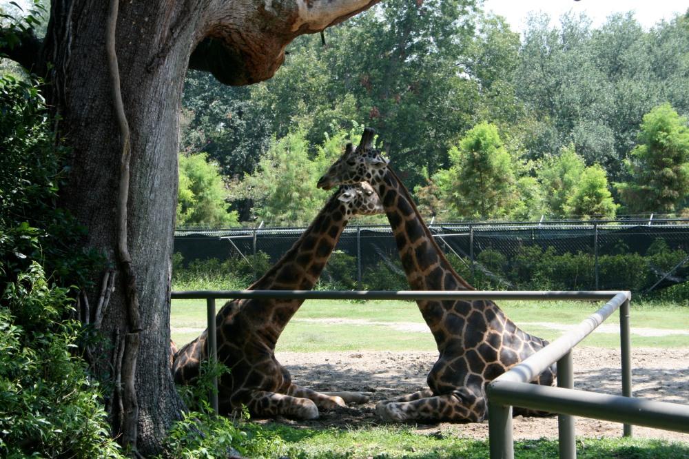 tender giraffes