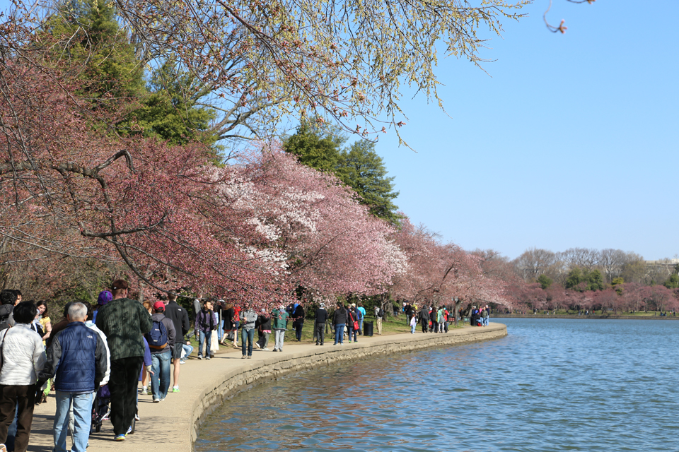Cherry-Blossoms-Tidal-Basin