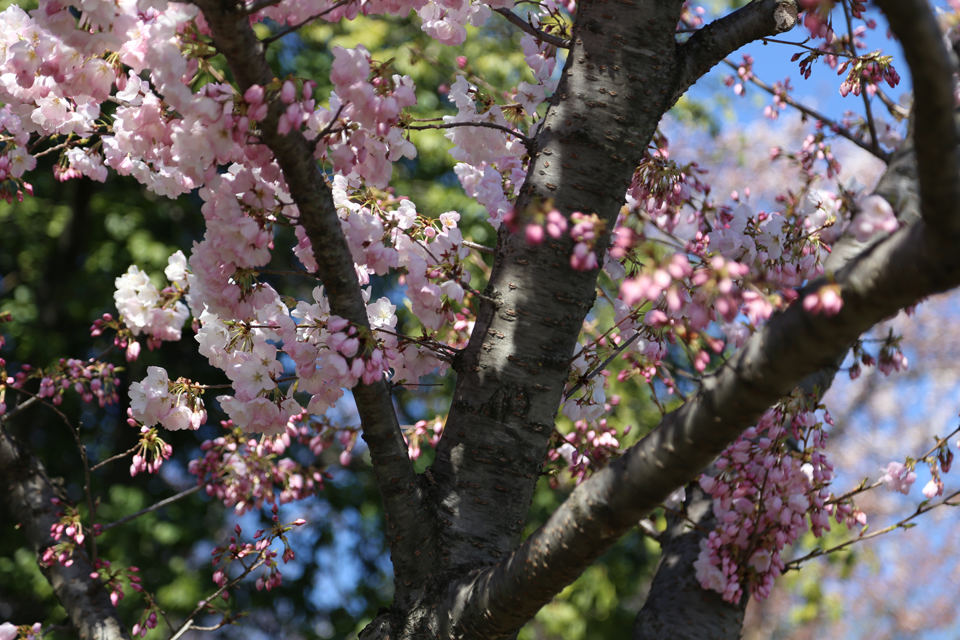 Not-quite-blooming-cherry-blossoms