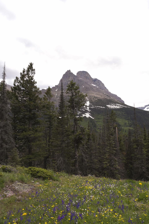 7_Wildflowers-peaks-Glacier