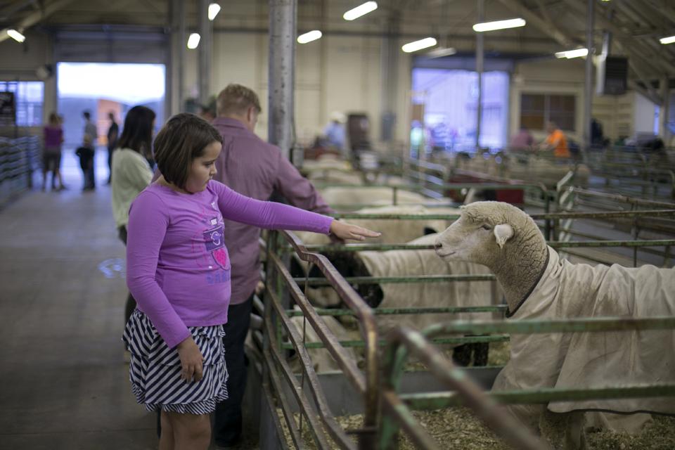 11_sheep