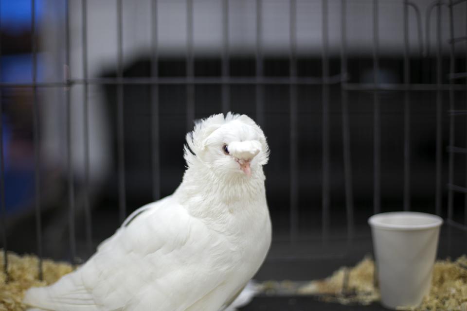 16_white-pigeon