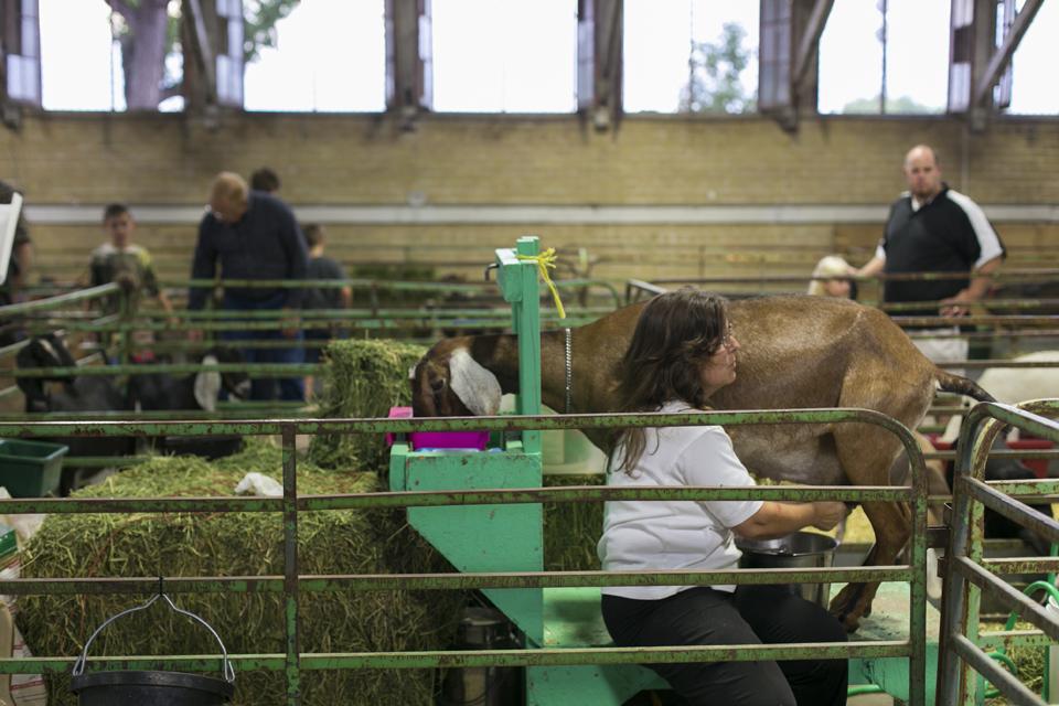 3_Milking-Goat