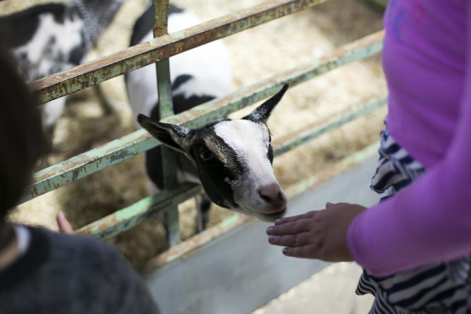 5_Petting-Goat