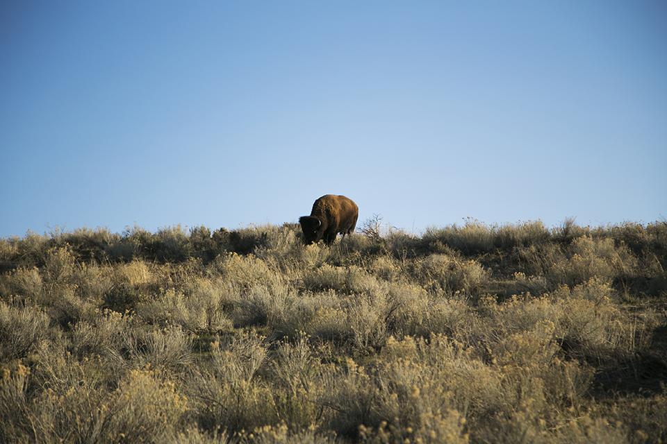 15_Antelope-Island-Bison