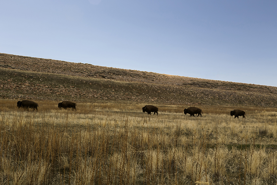 17_row-of-Bison