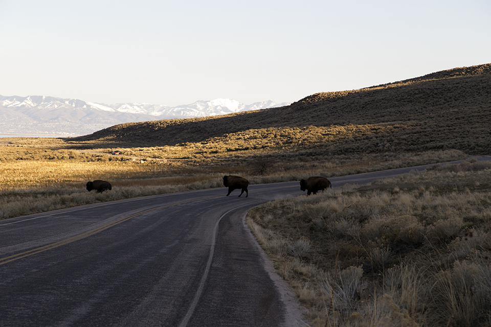 18_Bison-crossing-street