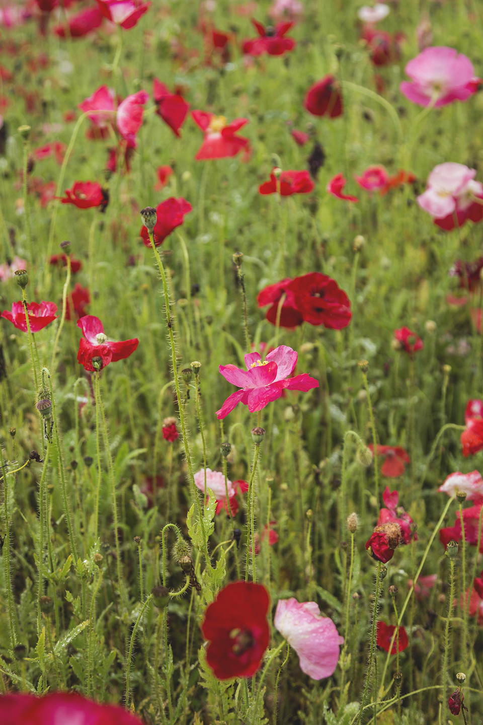 Red-and-Pink-Poppies